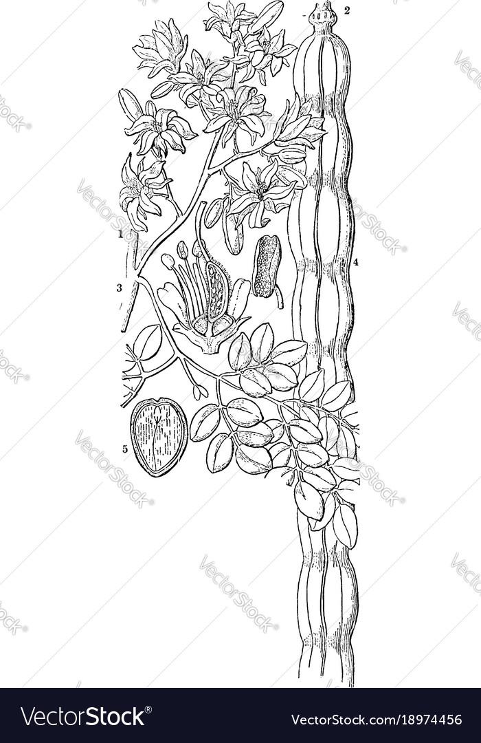 Horseradish tree vintage