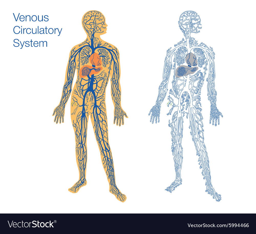 Venous Circulatory System Royalty Free Vector Image