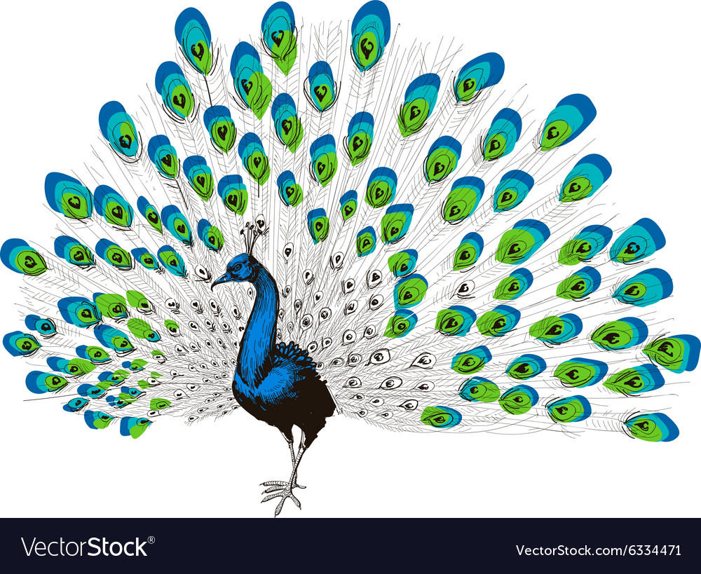 Peacock hand drawing vector image