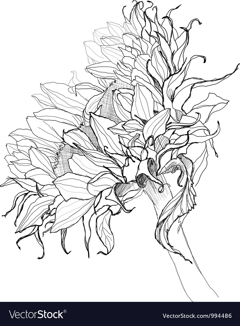 Sunflower pen drawing vector image