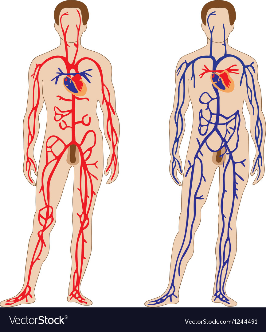 Venous And Arterial System Of The Human Royalty Free Vector
