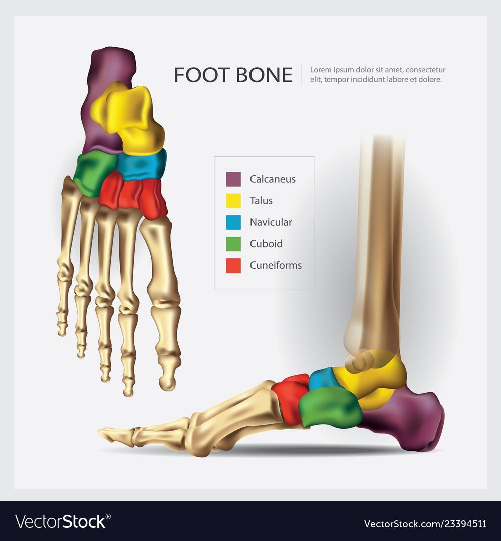 Human Anatomy Foot Bone Royalty Free Vector Image