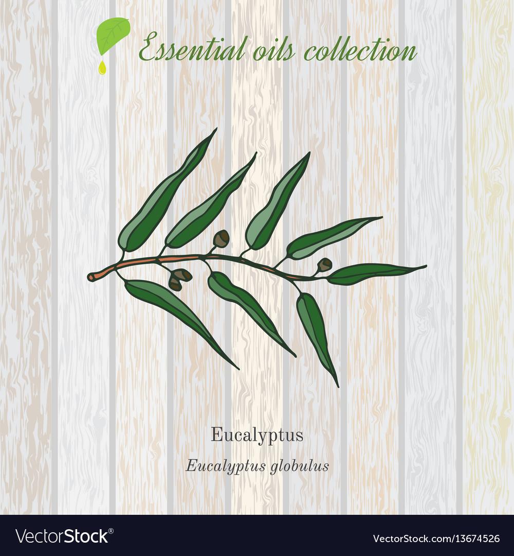 Eucalyptus essential oil label aromatic plant
