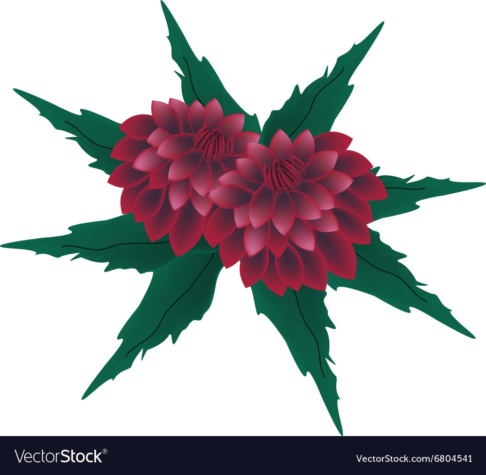 Red Dahlia Flowers On A White Background Vector Image