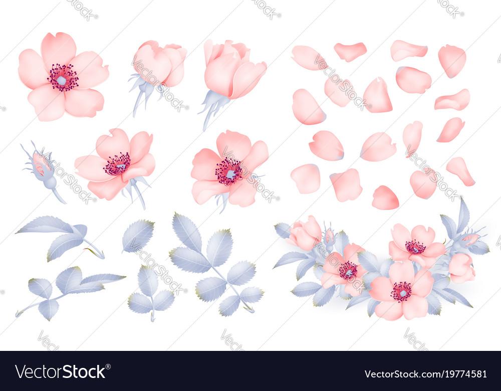 Dog-rose blooms wild rose set