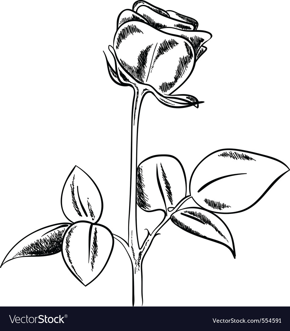 Black sketch of rose on white background vector image