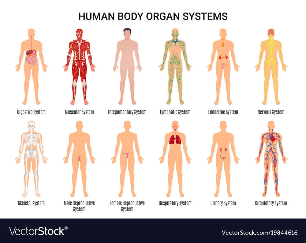 Human body organ systems poster vector image