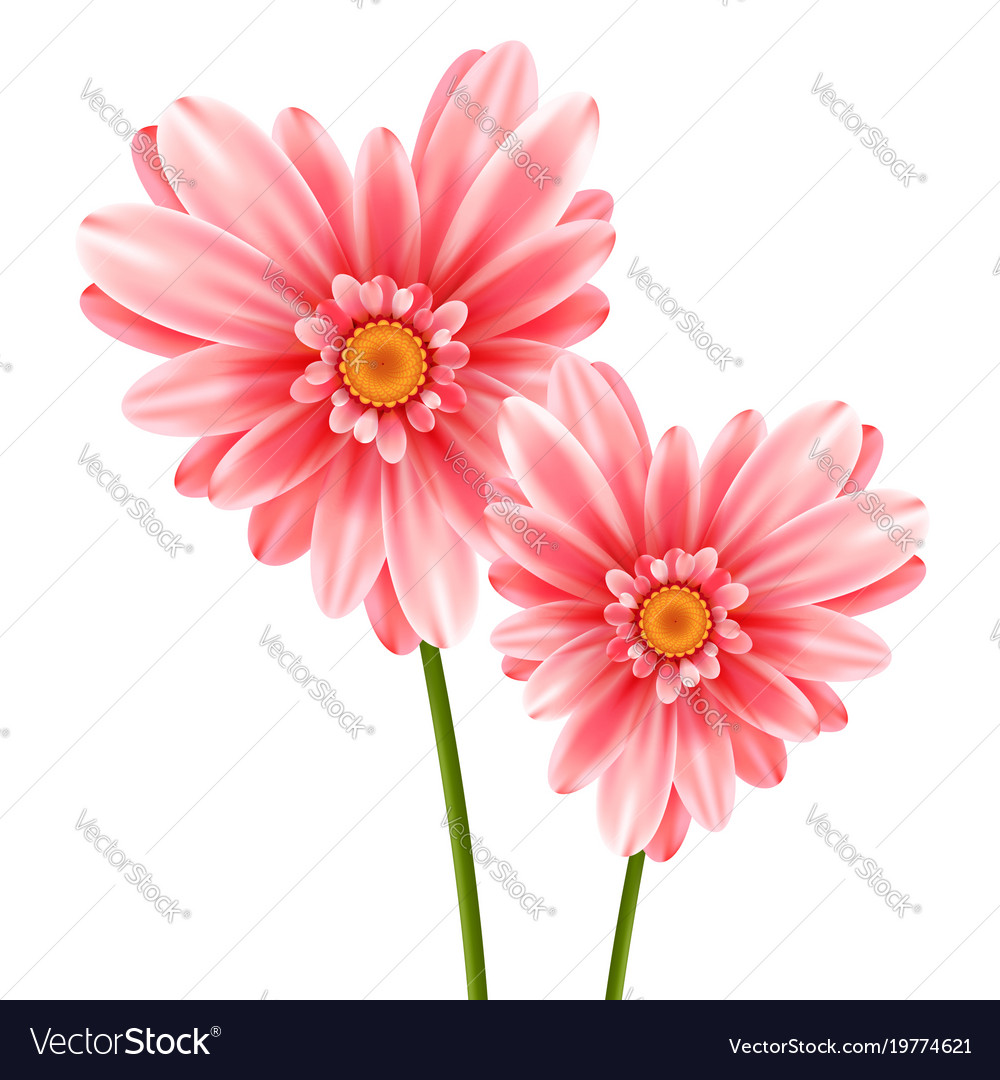 Gerbera flower heart isolated on white background vector image mightylinksfo