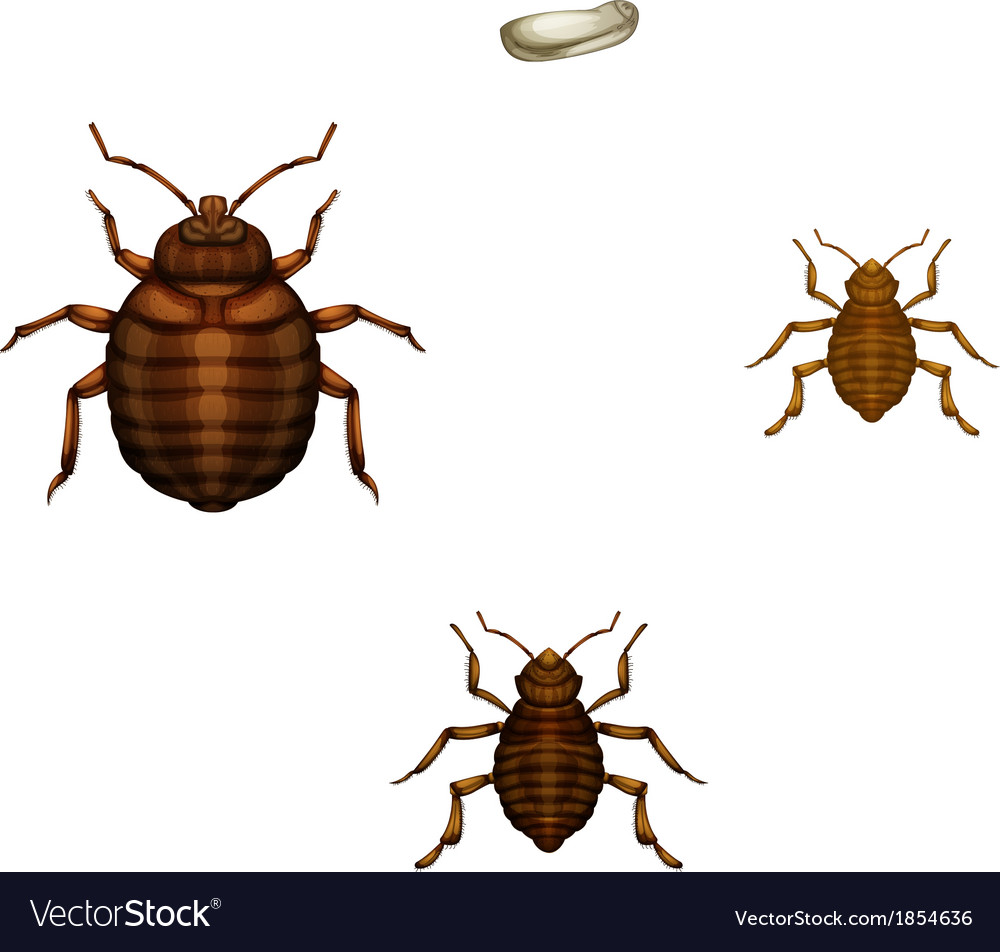 Bed Bug Life Cycle Royalty Free Vector Image Vectorstock