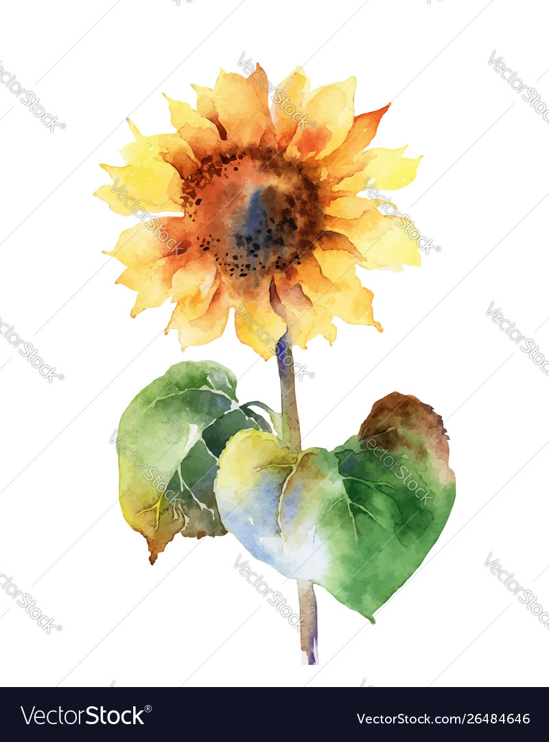 Watercolor sunflower isolated on white background