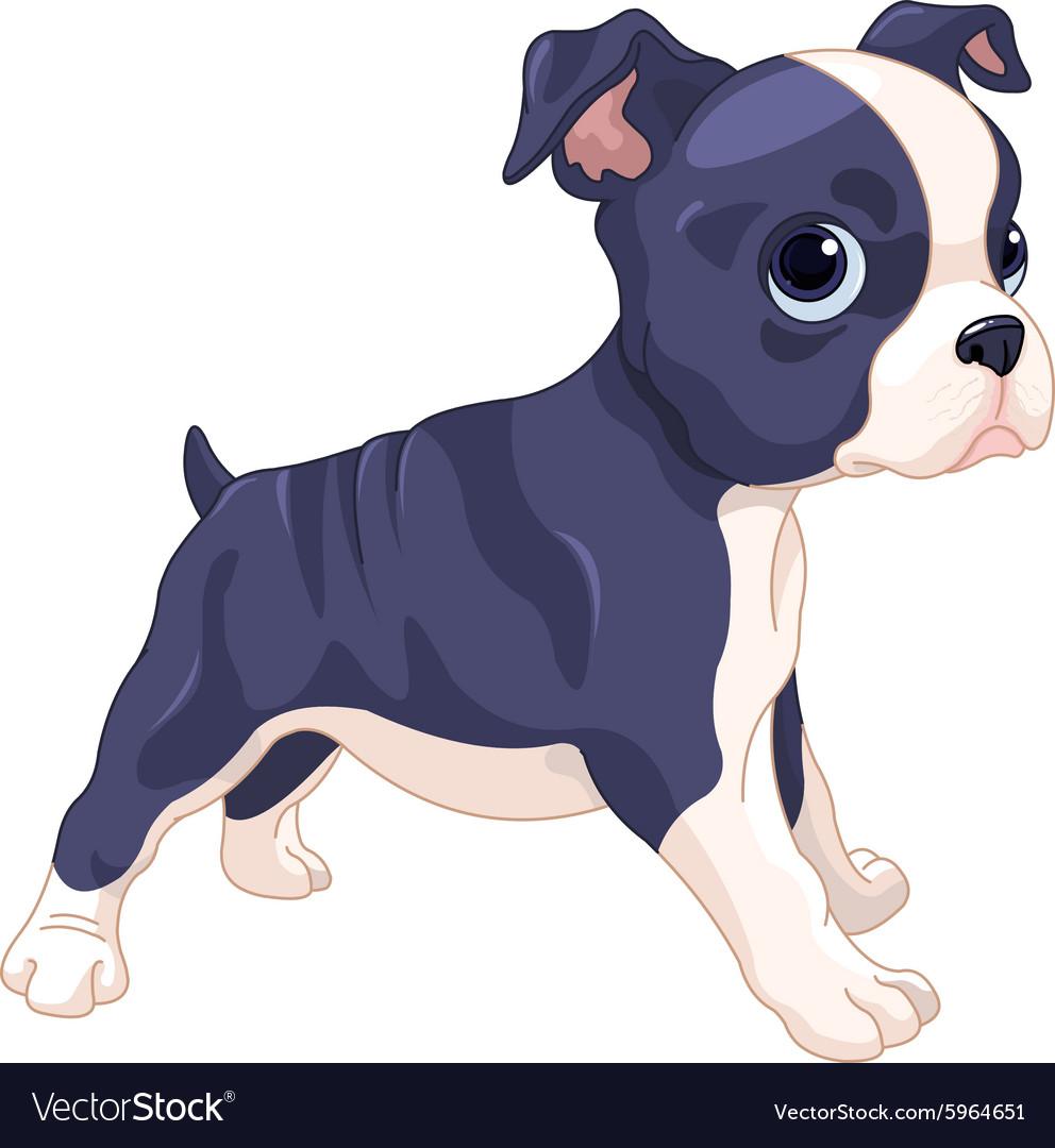 Boston Terrier Cub