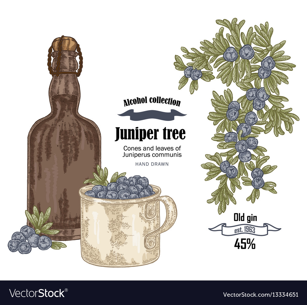 Juniper tree and old bottle gin