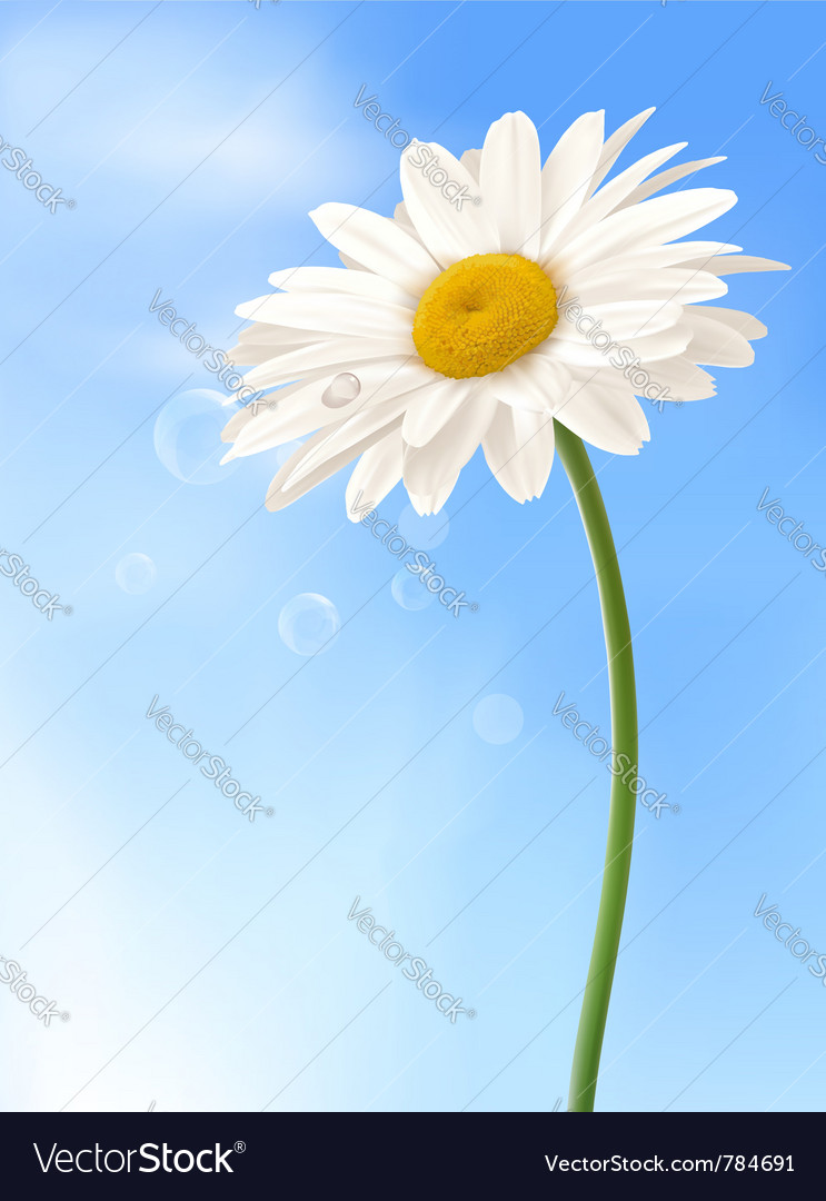 Beautiful white daisy vector image