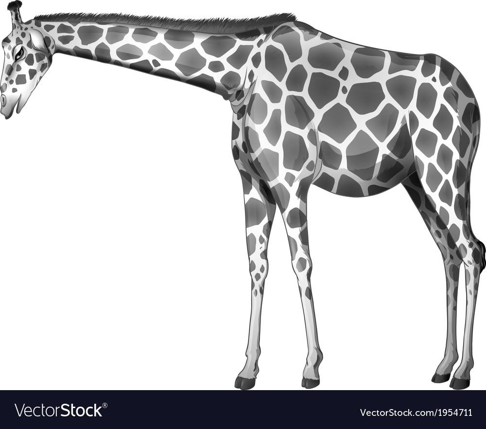 A grey giraffe vector image