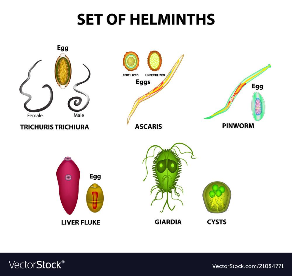 Helminth flukes - Human pathogen férgek