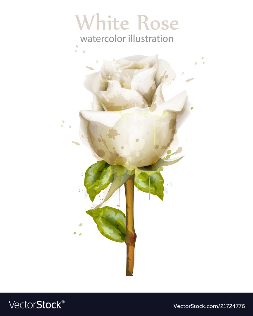 Watercolor white rose isolated beautiful