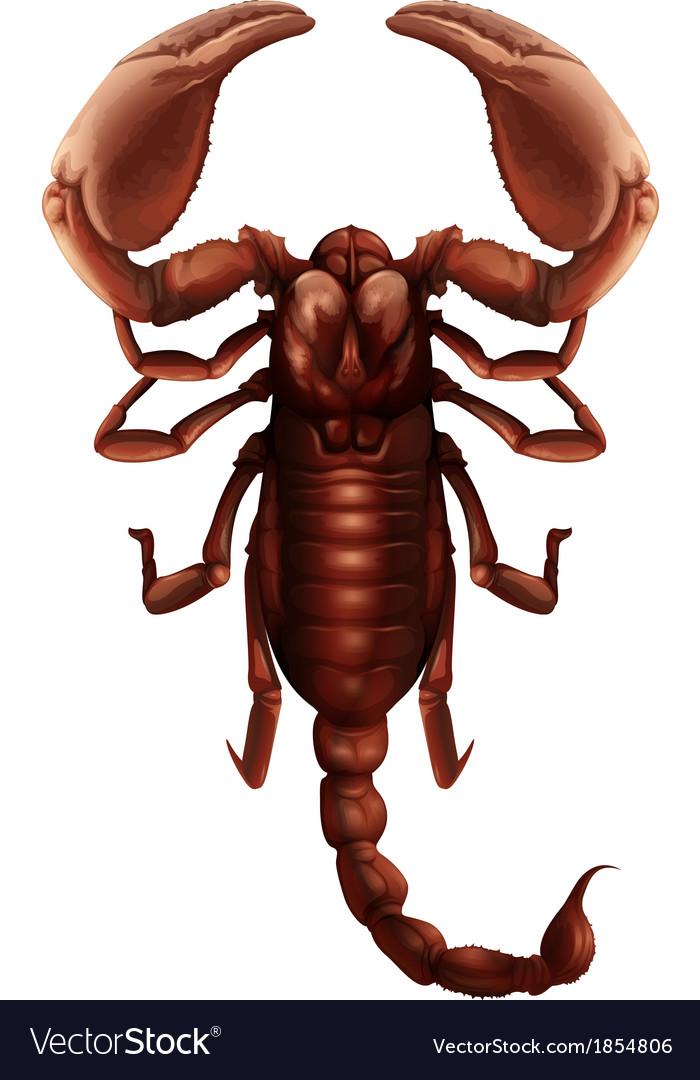 Scorpion - Buthus genus