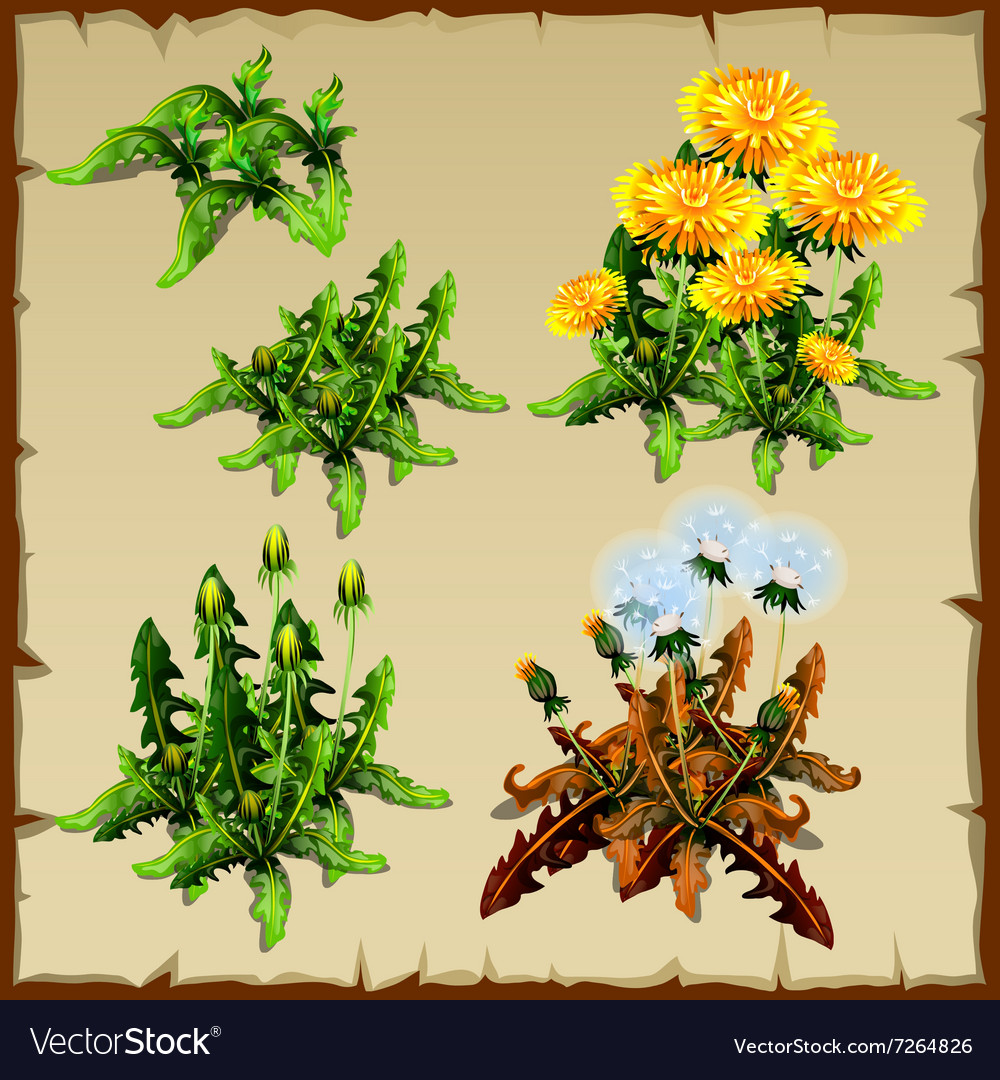 Stages of growth dandelion planting and withering
