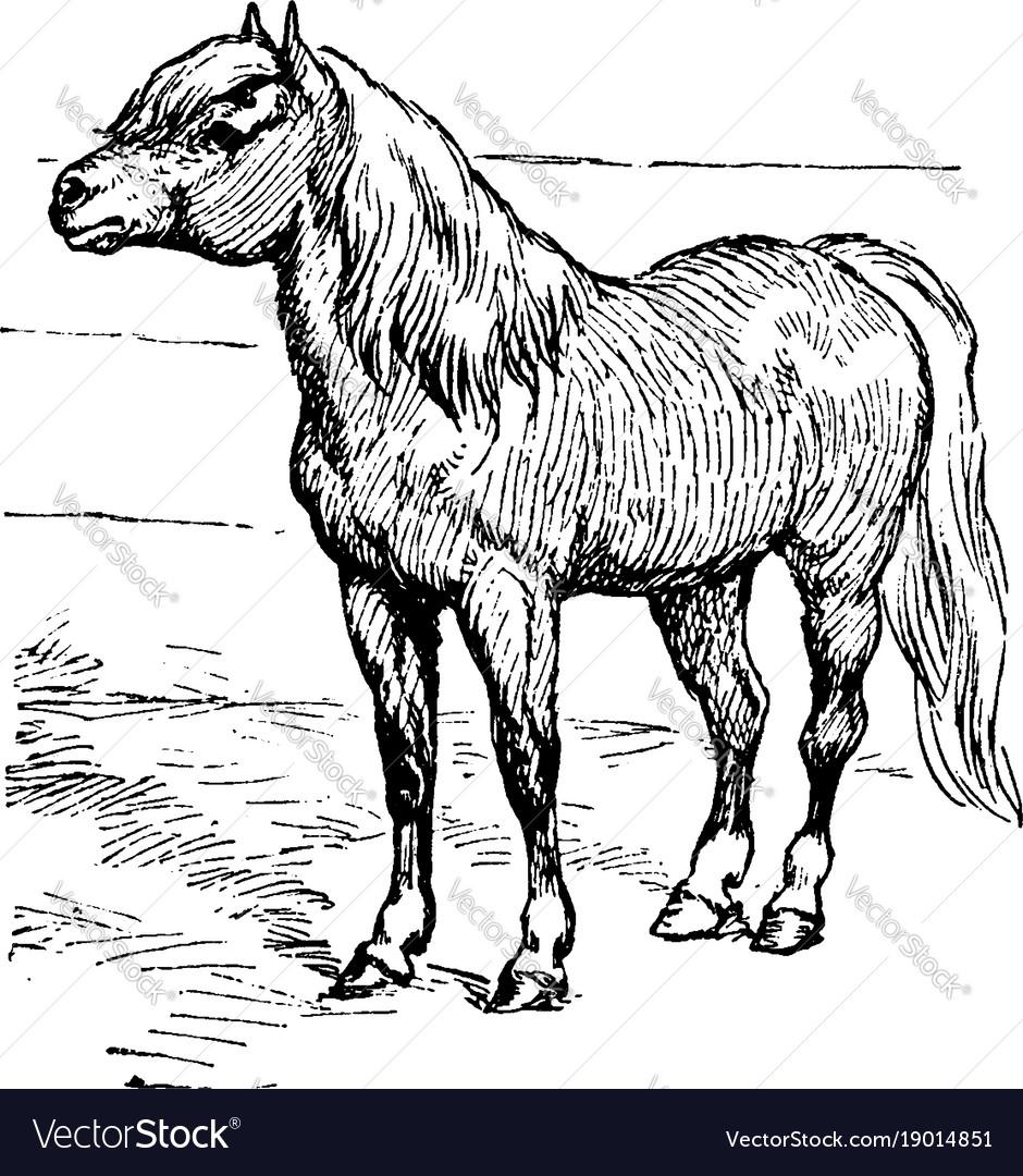 Shetland pony vintage