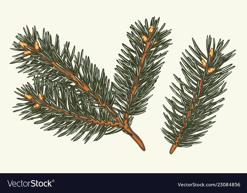 Green lush spruce branch fir branches collection
