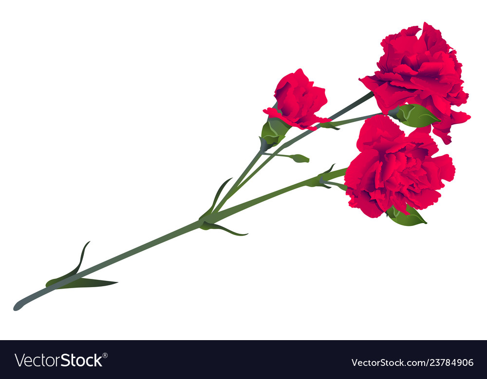 Red carnation flower bouquet bud isolated on white