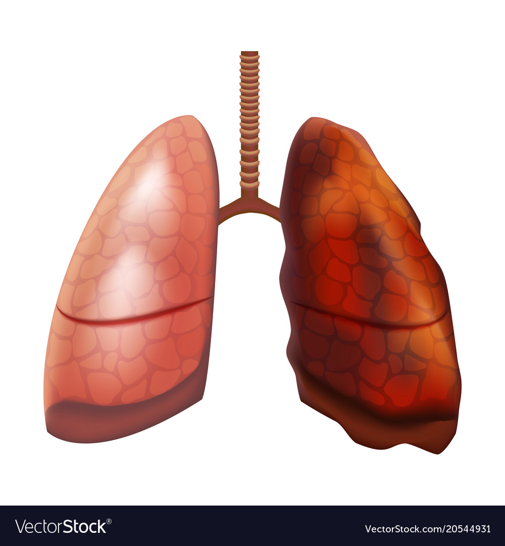 Realistic detailed 3d human lungs internal organ Vector Image