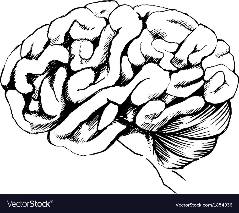 human brain royalty free vector image vectorstock rh vectorstock com brain vector free ai brain vector graphic