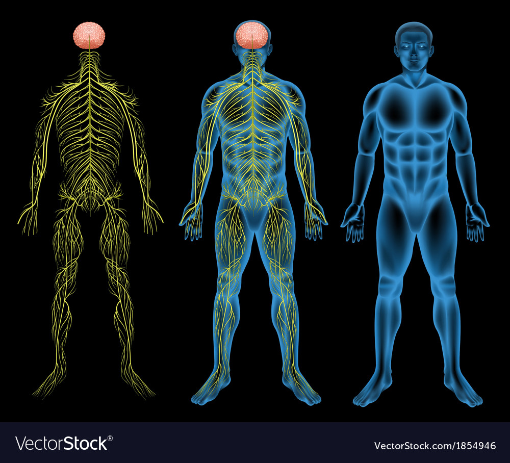 Male nervous system Royalty Free Vector Image - VectorStock