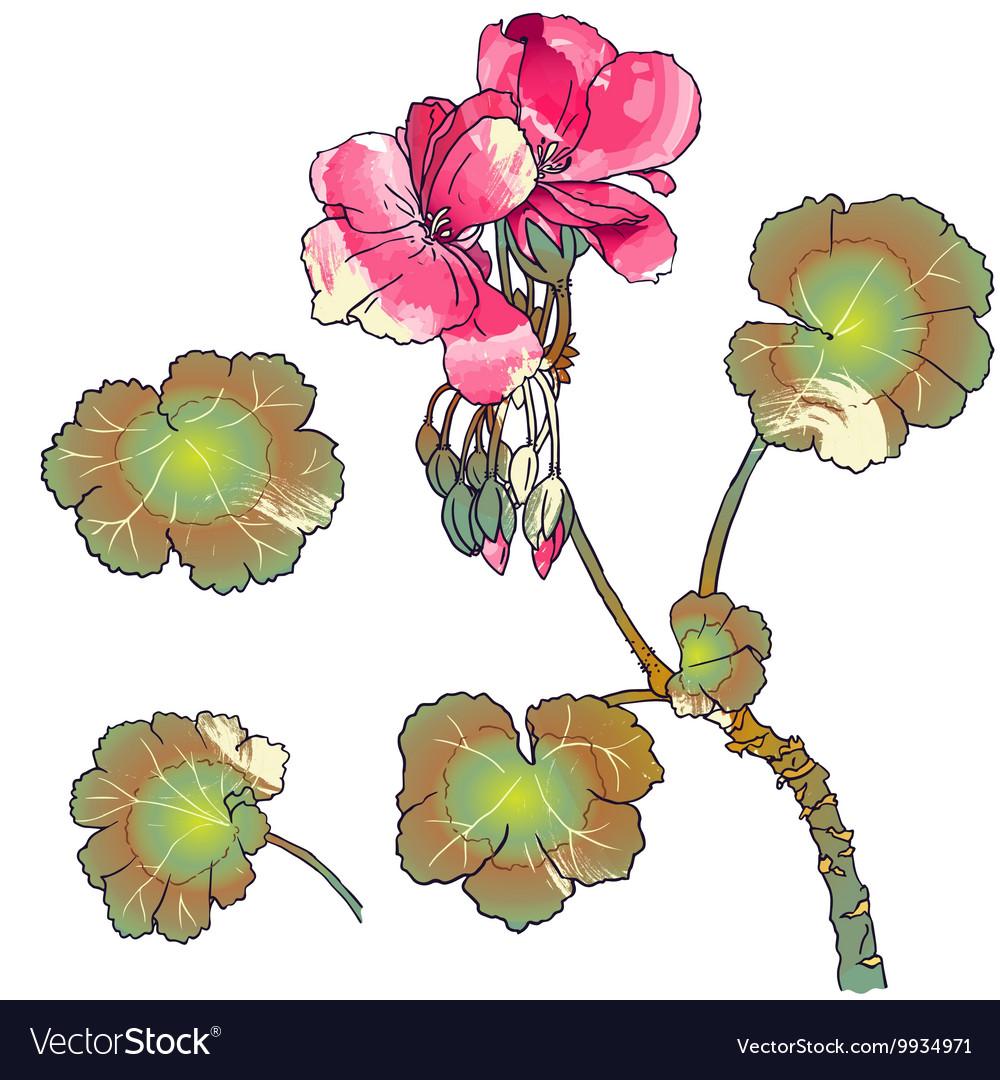 Geranium flowers buds leaves