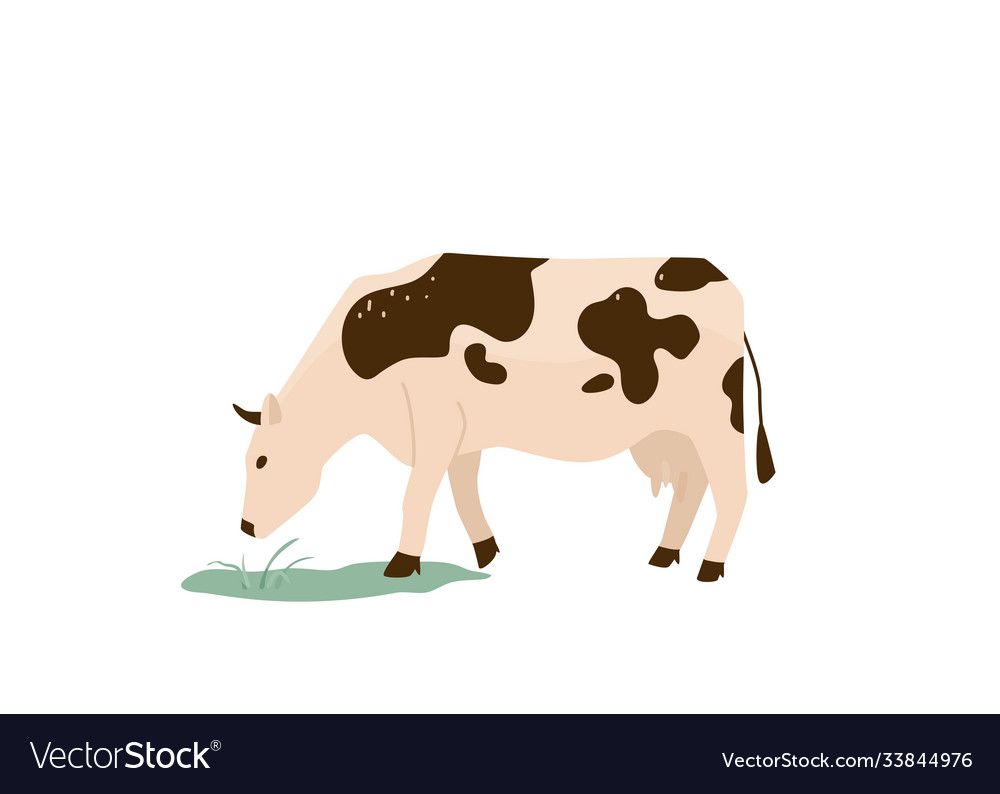 Spotted black and white cow eat green grass