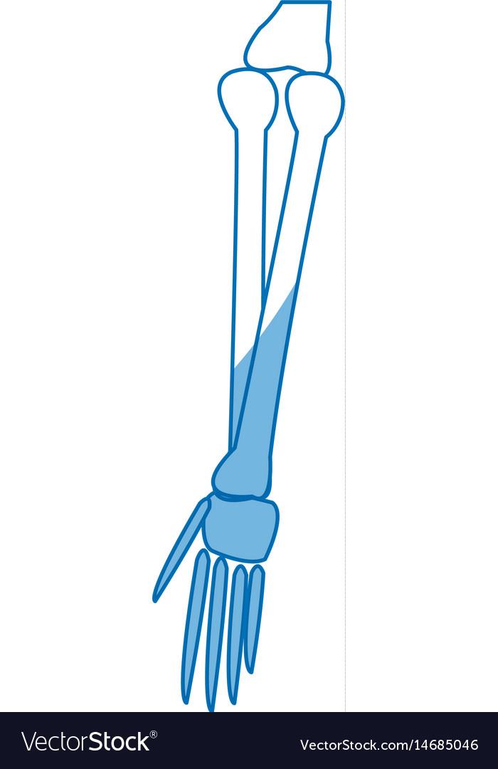 Human arm bones hand medical parts design vector image