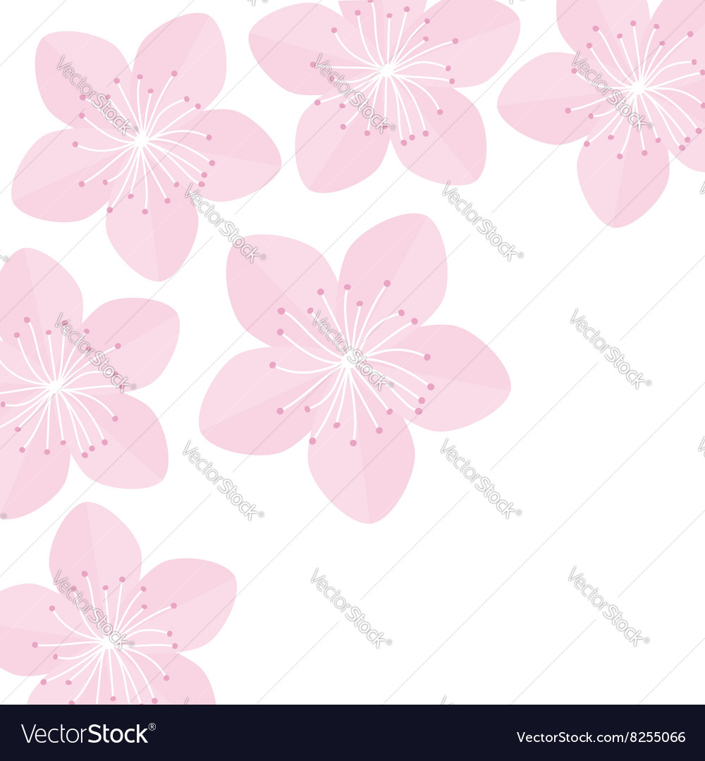 Sakura flowers Japan blooming pink cherry blossom vector image