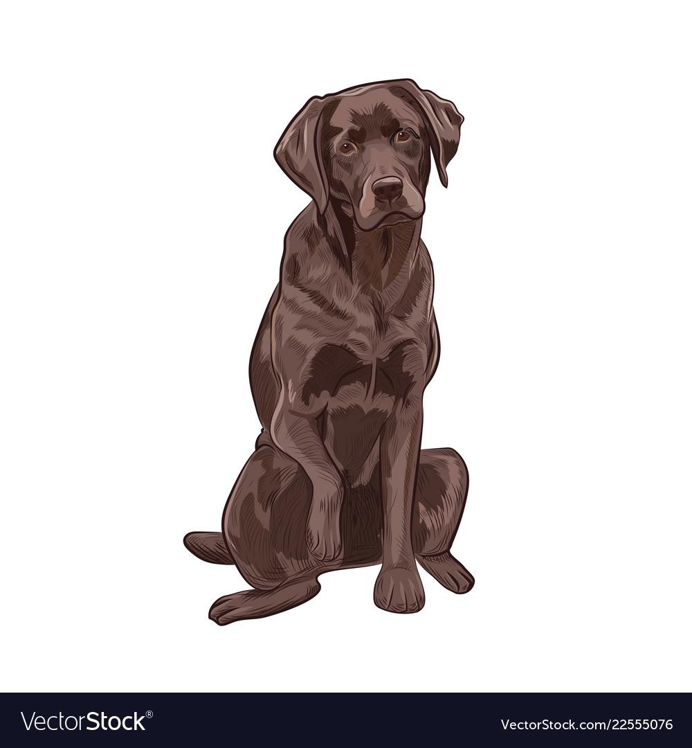 Chocolate Labrador Retriever Vector