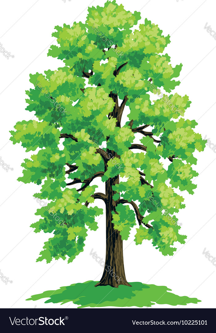 Linden with lush green crown