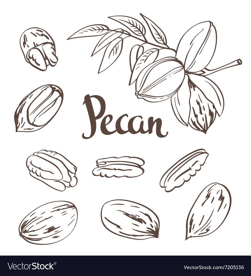 Green Pecan nuts with leaves and dried Pecan nuts