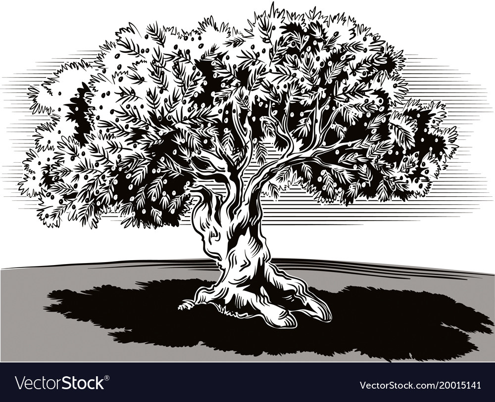 Old olive tree and tortuous