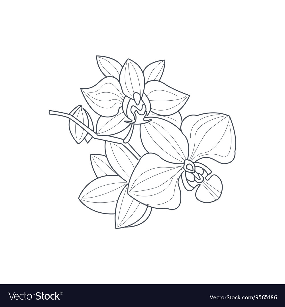 - Orchid Flower Monochrome Drawing For Coloring Book