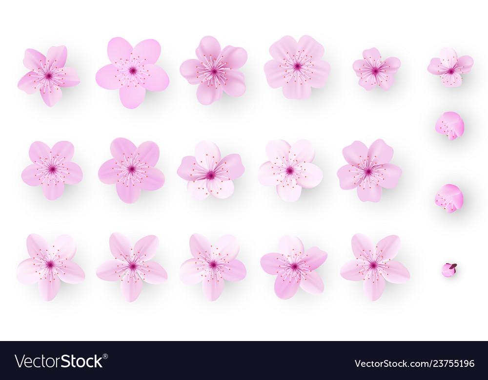 Realistic sakura or cherry blossom japanese