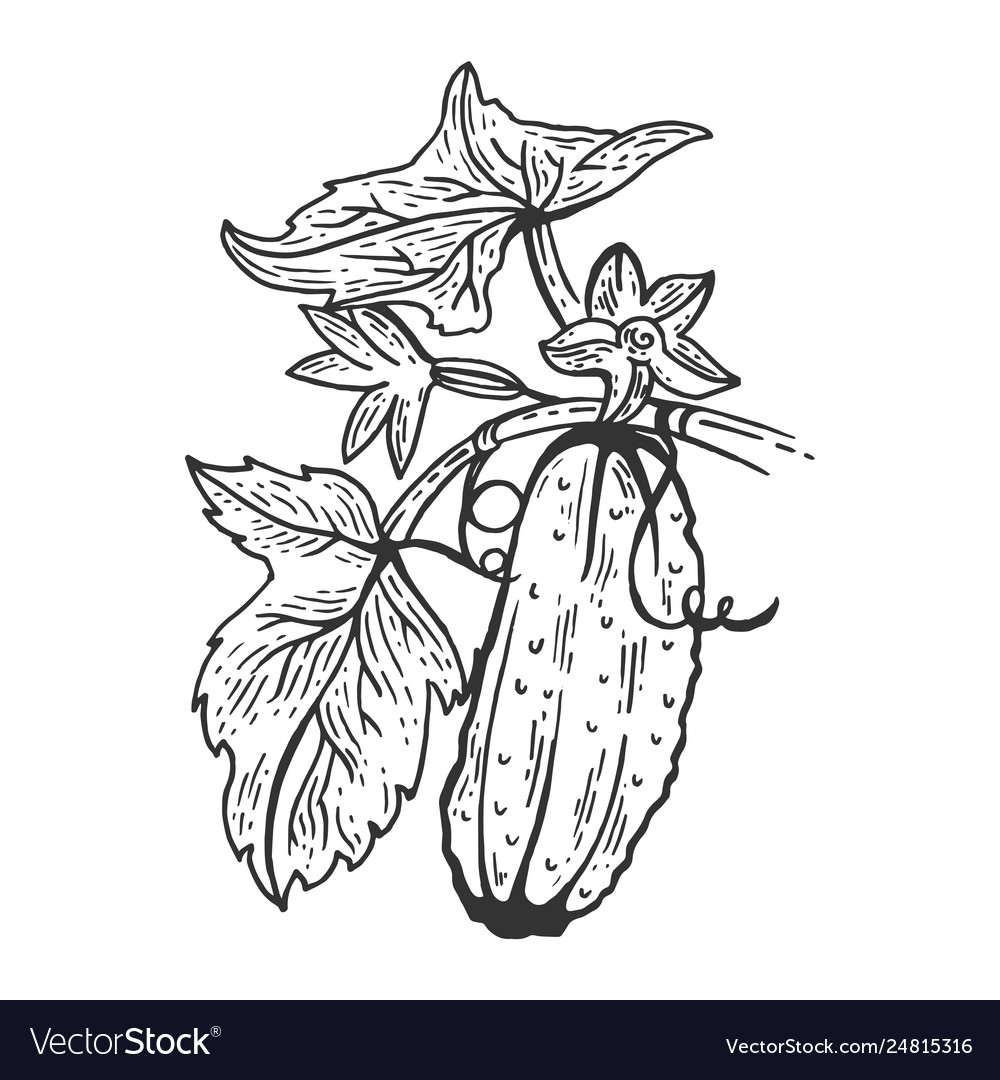 Cucumber sketch engraving