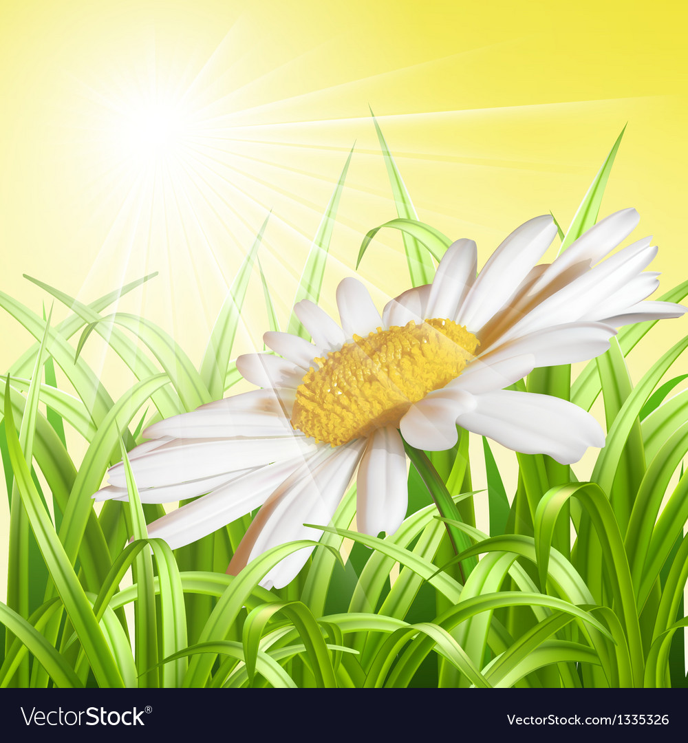 Green grass with daisy - summer background