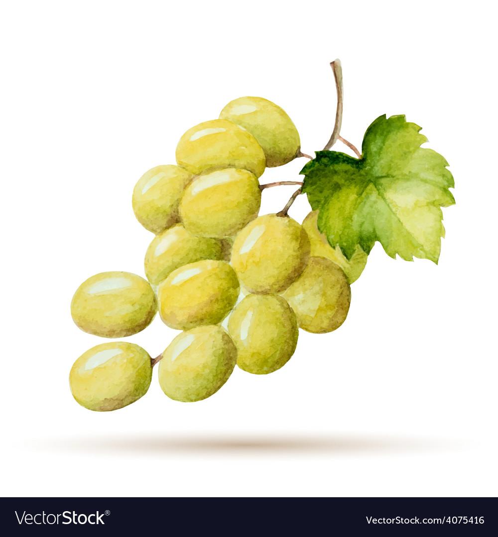 Watercolor branch yellow grapes