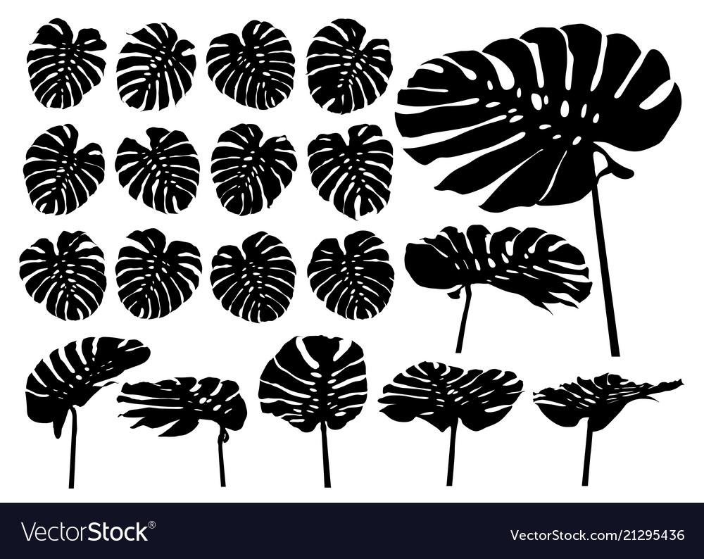 Monstera deliciosa or swiss cheese plant tropical vector image