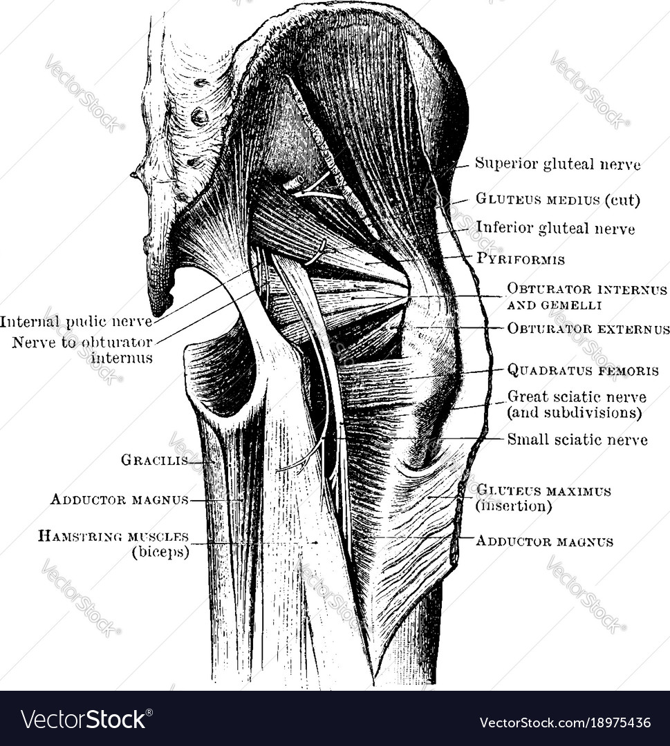 Muscles and nerves of the buttock vintage Vector Image
