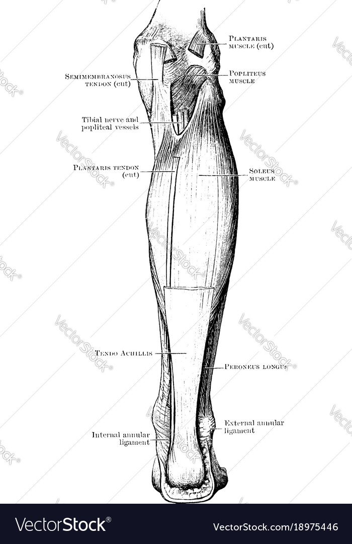 Back leg muscles vintage royalty free vector image back leg muscles vintage vector image ccuart Gallery