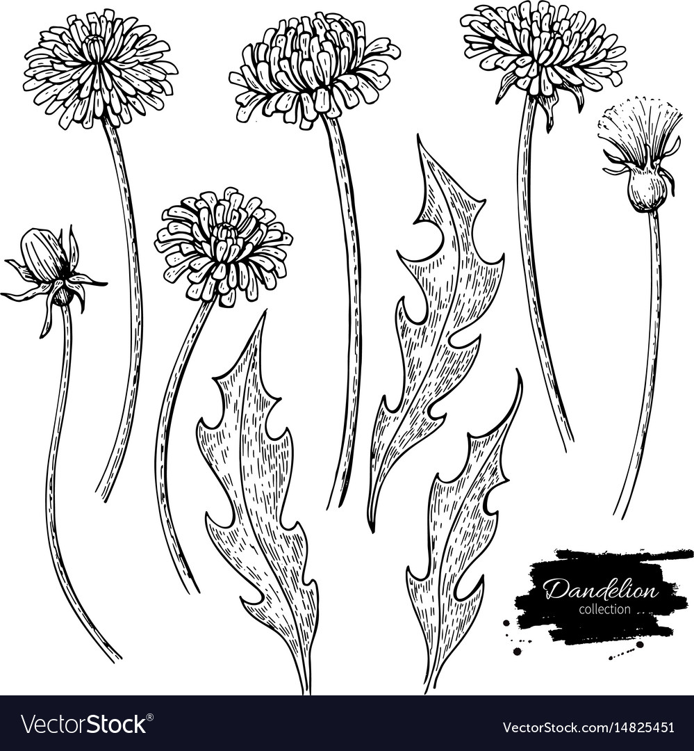 Dandelion flower drawing set isolated wild