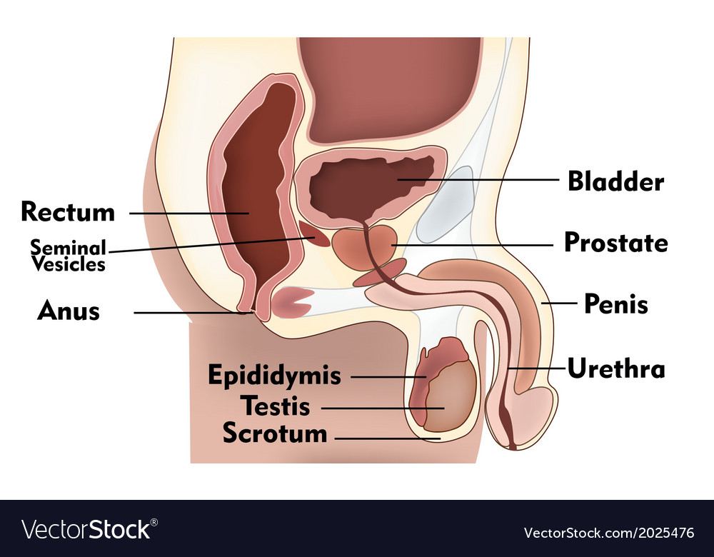 Male anatomy side view vector image