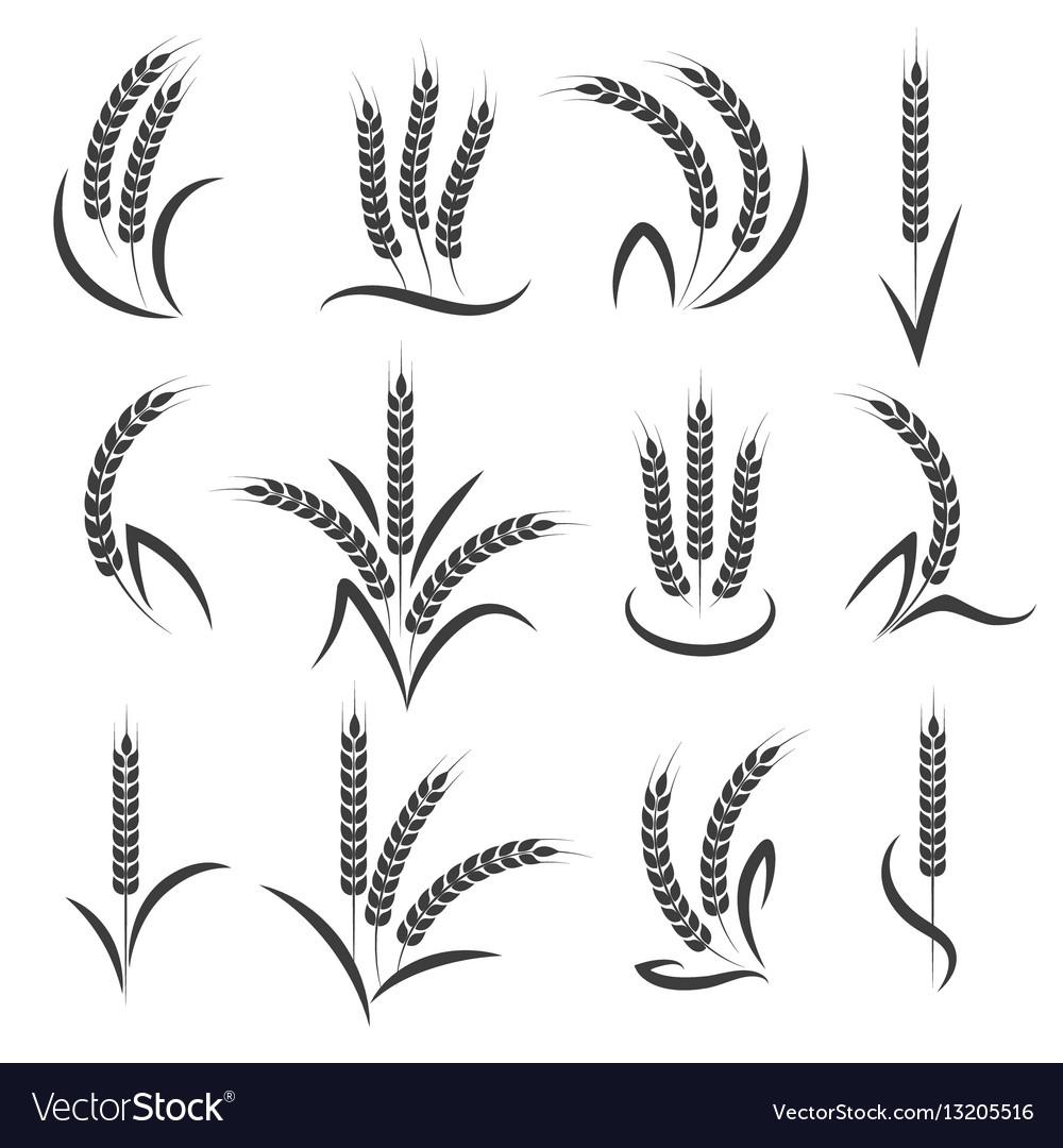 Wheat or barley ears branch