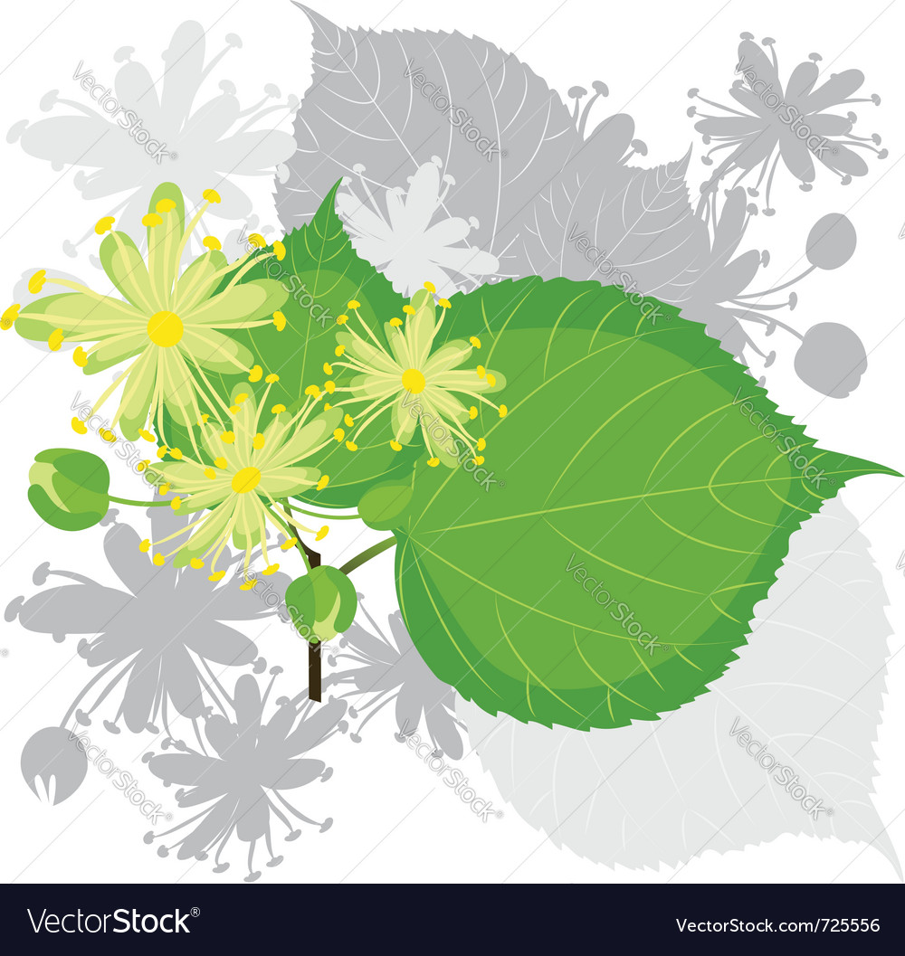 Linden flowers with foliage vector image