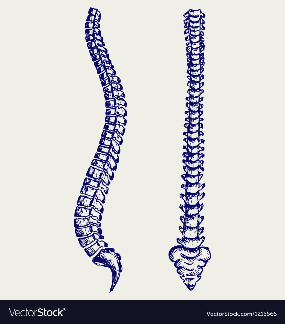 Human Anatomy Spine Royalty Free Vector Image Vectorstock