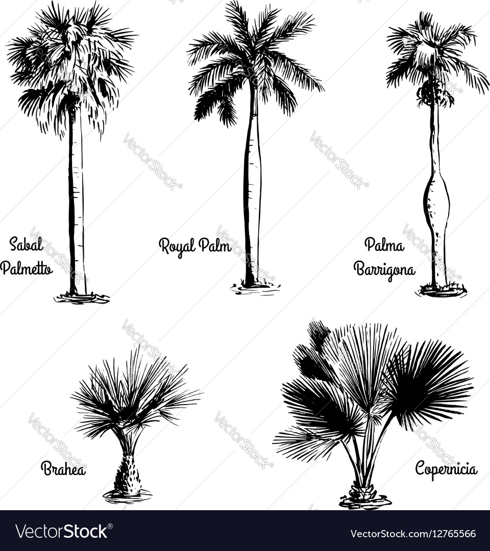 Set of hand drawn palm sketches vector image